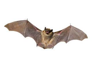 how-do-bats-fly