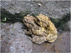 how-do-toads-reproduce