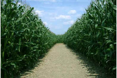 how-far-apart-do-you-plant-corn