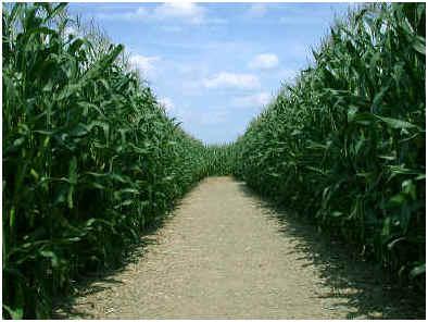 How Far Apart Do You Plant Corn Sophisticated Edge