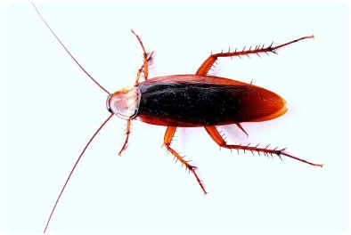How long do cock roaches live