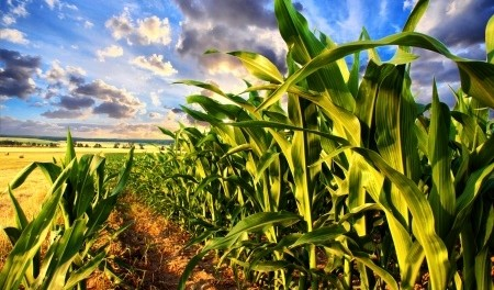 how-long-does-it-take-corn-to-grow