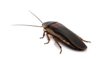 how-many-cockroach-species-are-there
