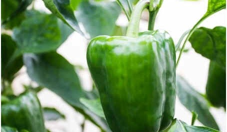 how-to-harvest-bell-peppers