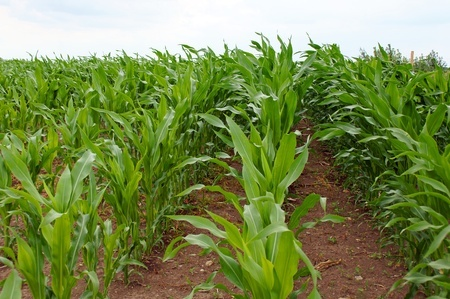 how-to-plant-corn