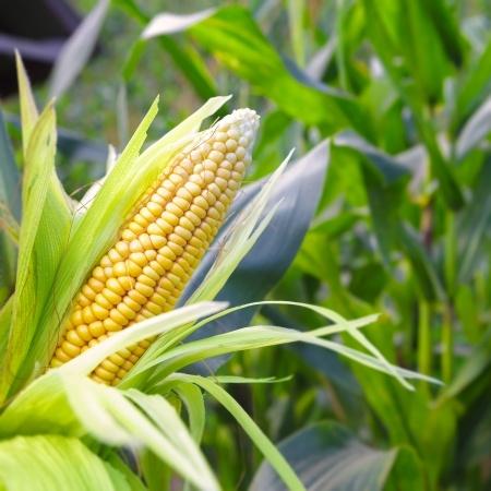 is-corn-healthy