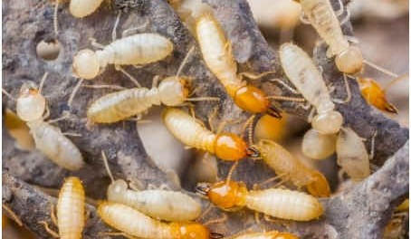 Subterranean Termites (Workers)