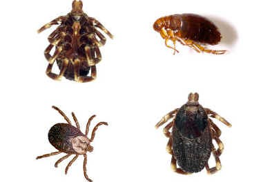 types-of-ticks