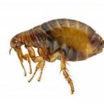 What Do Fleas Look Like?