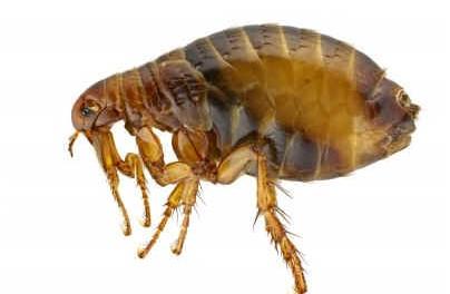 what-do-fleas-look-like