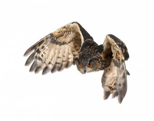 How Do Barn Owls Eat Their Food