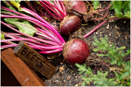 when-to-harvest-beets