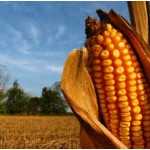 When to Harvest Sweet Corn?