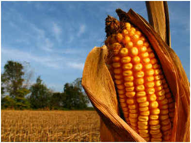 when-to-harvest-sweet-corn