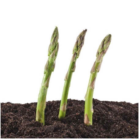 when-to-plant-asparagus