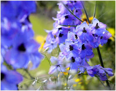 When to Fertilize Delphiniums