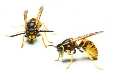 Do Yellow Jackets Die After Stinging?