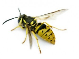 Does a Yellow Jacket Bite or Sting?
