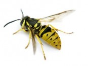 Yellow Jacket Sting Reactions