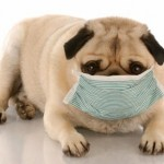 Can Dogs Get the Swine Flu?
