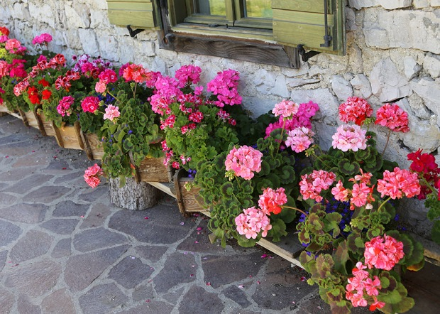 How Do You Keep Geraniums In The Winter Sophisticated Edge